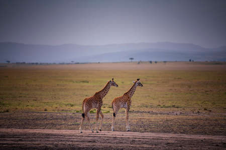 Two Young Giraffe and savannah view in Kenya. 免版税图像