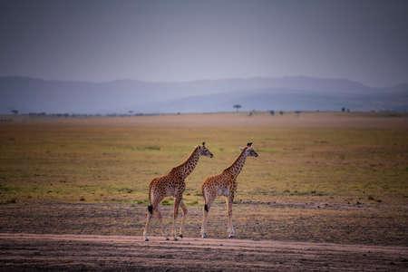 Two Young Giraffe and savannah view in Kenya. Stock Photo