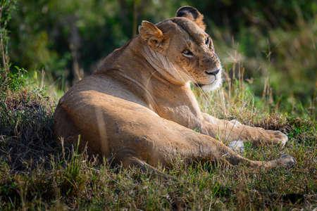 Portrait of Lioness in safari ,Kenya.