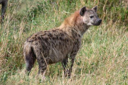 Spotted hyena in safari ,Kenya. Stock Photo