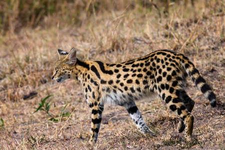 Serval cat in safari ,Kenya. Stock Photo