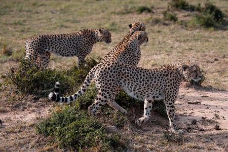 Four Cheetah brothers in safari ,Kenya.
