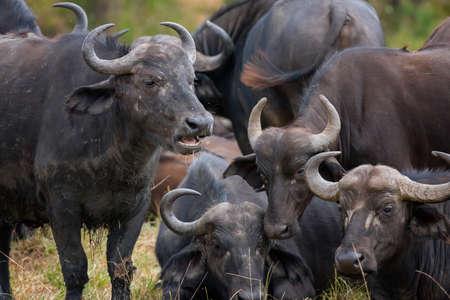 African buffalo in safari ,Kenya. Stock Photo