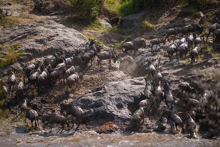 The Great Migration. Wildebeest and Zebra crossing the Mara River safari ,Kenya. Stock Photo