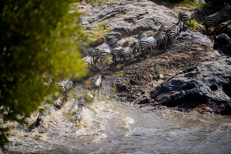 The Great Migration. Wildebeest and Zebra crossing the River  ,Kenya. Stock Photo