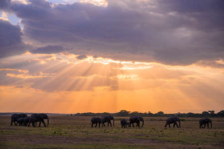 Herd of African Elephants at sunset in safari ,Kenya. Stock Photo