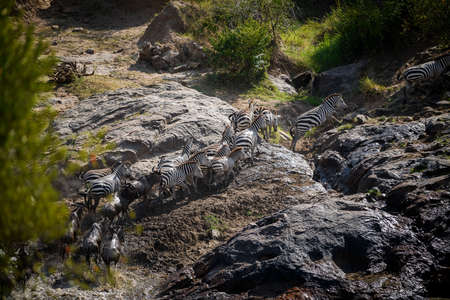 The Great Migration. Wildebeest and Zebra crossing the River ,Kenya.