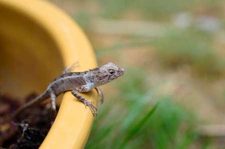 prin: Lagarto azul, lagarto marr�n, lagarto asi�tico o lagarto �rbol