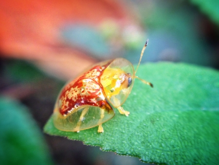 glow: Gold Tortoise bettle on a leaf  Stock Photo