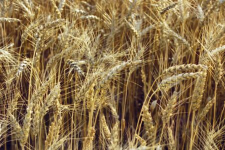 tassles: Tassles of Wheat