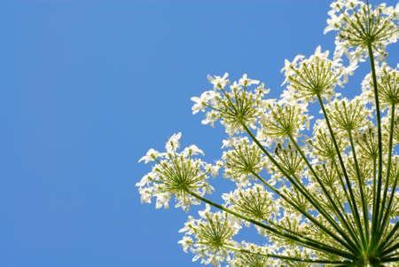 Gr�ne Pflanze mit wei�en Bl�ten