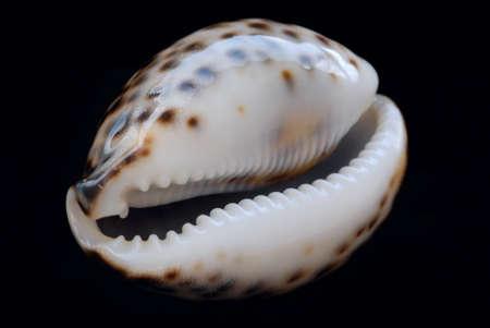 Marine shell Stock Photo