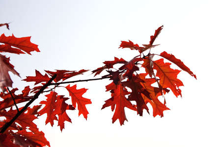 Autumn maple red line  Stock Photo
