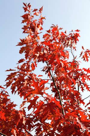 Herbst rote Ahorn