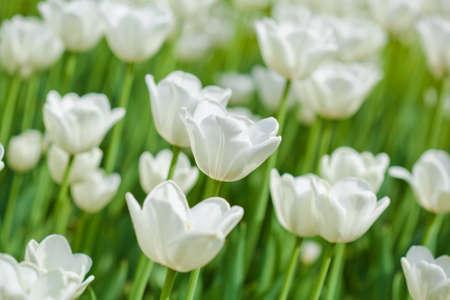 wei�e Tulpen