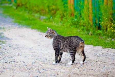 gestreiften streunende Katze ohne Schwanz Lizenzfreie Bilder