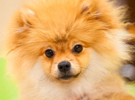 Hund Spitz Orange Kleine Hunderassen Blick in die Kamera