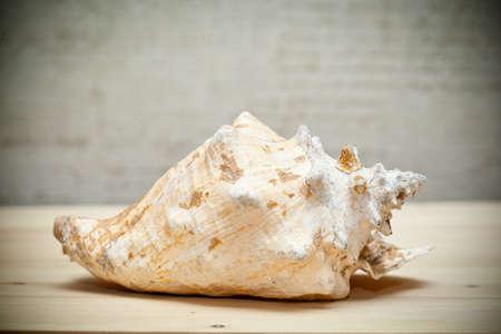 Sea shell beige Lizenzfreie Bilder