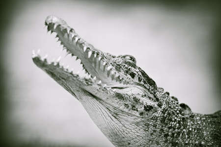 Toothy jaws of a crocodile, retro style