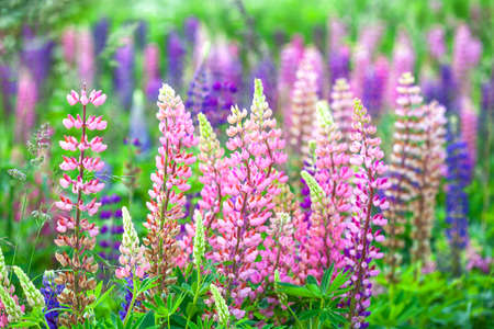 purple and pink lupine flowers blooming field background