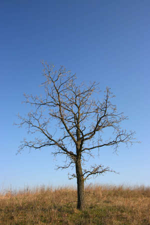 Gloomy, dead tree with blue sky in a yellow field