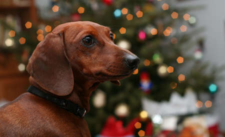 bloodhound: Cute miniature dachshund in front of blurred Christmas tree lights Stock Photo