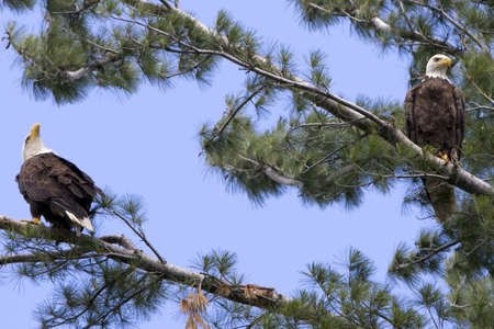 Two American Bald Eagles in a White Pine tree