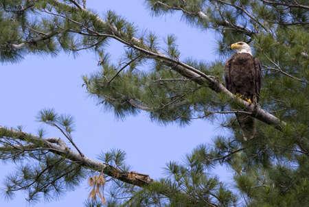 American Bald Eagle in White Pine Tree Stock Photo