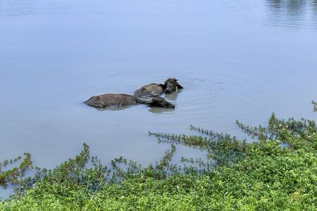 Buffalo swimming in a beautiful pond to cool itself down Stock fotó