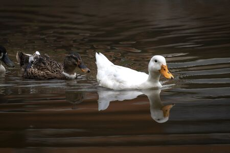 Ducks and drakes swim in the water of the lake. Mating ducks in the wild. Banco de Imagens