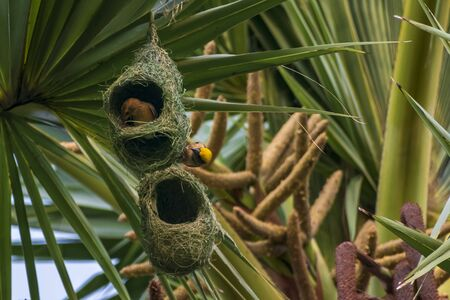 Nests of a baya weaver colony suspended from a palm tree, The baya weaver (Ploceus philippinus) is a weaverbird found across the Indian Subcontinent and Southeast Asia. Species: P. philippinus