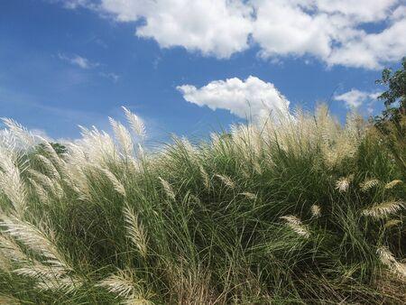 Hermoso blanco silvestre de caña de azúcar Kash o hierba de Kans en la India, Bengala Occidental, junto al campo de tierras agrícolas en el tiempo del festival de Durga Puja con hierba de cielo azul Foto de archivo