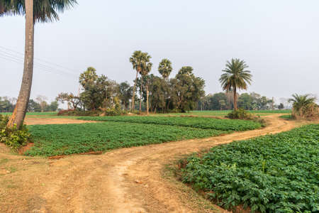 Outdoor picture of a fascinating, quiet, and beautiful village in West Bengal, where the winding clay road surrounded by palm trees merge far and wide through the agricultural lands.