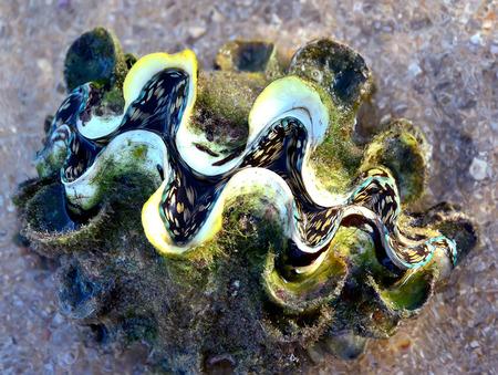 molluscs: Big clam Tridacna on the Thailand beach