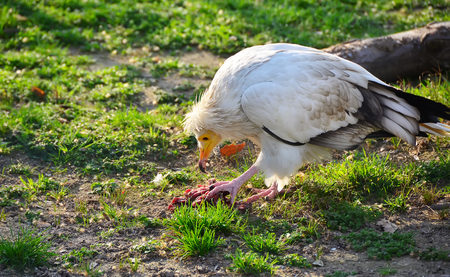 scavenging: White vulture eating a piece of meat on the grass in a zoo