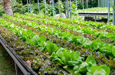 cultivation: Closeup shot of organic cultivation different kinds of lettuce Stock Photo