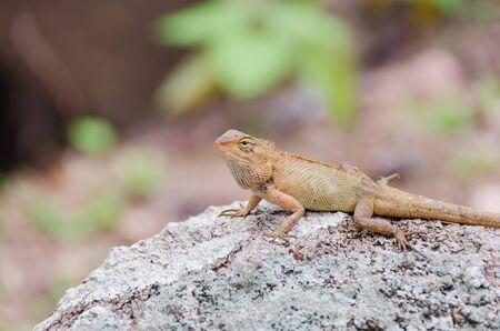 viviparous lizard: Brown lizard on a large stone in tropical wood