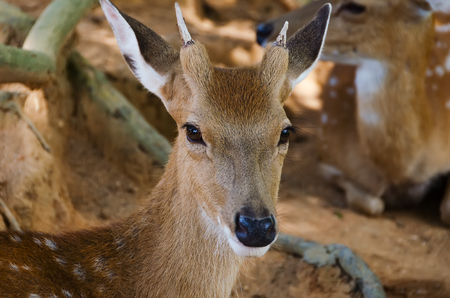 virginianus: Small deer in the zoo, closeup photo
