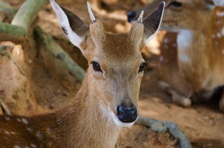 missouri wildlife: Small deer in the zoo, closeup photo