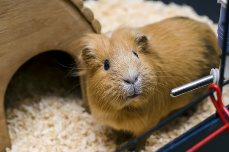 guinea: Small guinea pig stand next to wooden house Stock Photo