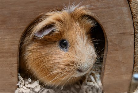 portret: Portret of red guinea pig in her wooden house. Stock Photo