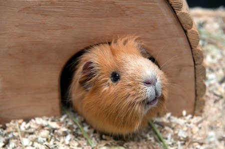 likable: Portret of red guinea pig in her wooden house. Stock Photo