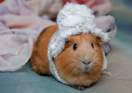 Red guinea pig wearing a small winter hat. Stock Photo