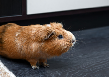 guinea pig: Portrait of red guinea pig. Close up photo.
