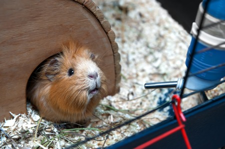 Portret of red guinea pig in her wooden house. 免版税图像
