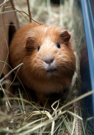 portret: Portret of red guinea pig. Close up. Stock Photo