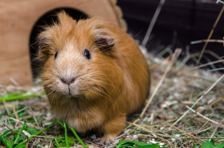 Portret of red guinea pig. Close up. 免版税图像