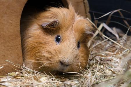 guinea pig: Portrait of guinea pig. Close up photo. Stock Photo