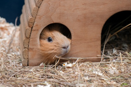 likable: Portrait of red guinea pig. Close up.