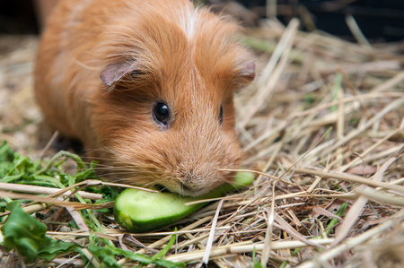 likable: Cute red guinea pig eating cucumber. Close up. Stock Photo